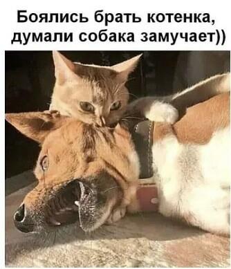 Мем: Страшнее кошки зверя нет, Малый Кыс